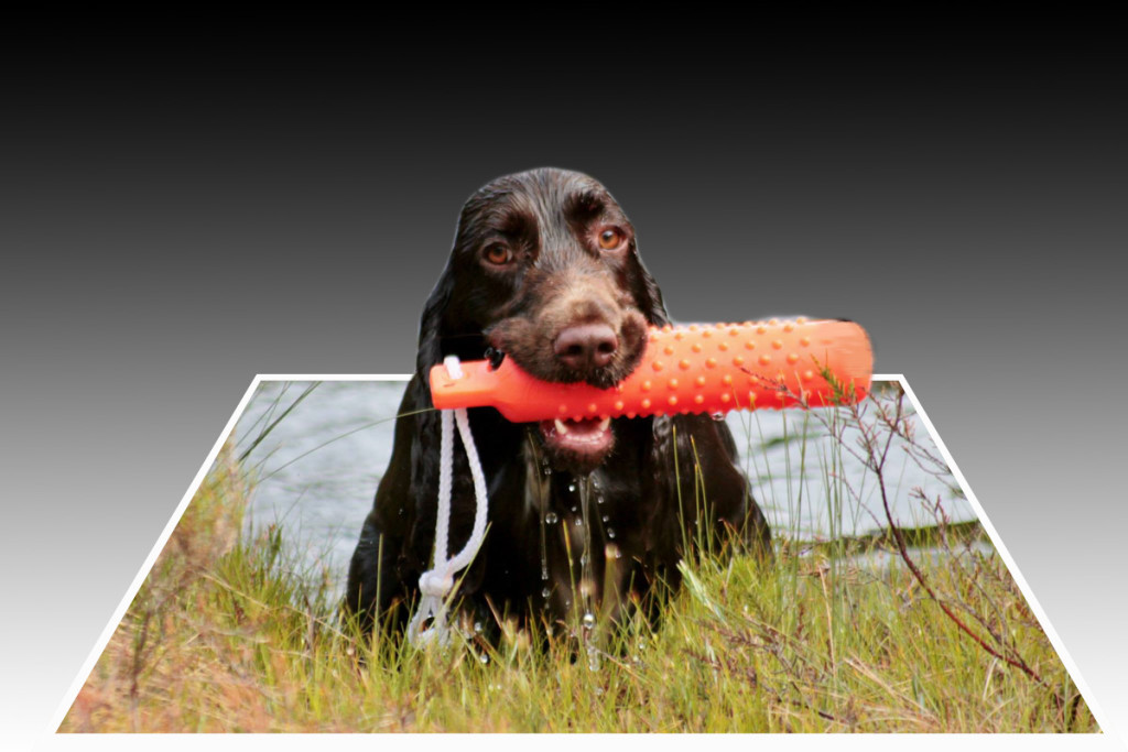 Ronja Apport Field spaniel training