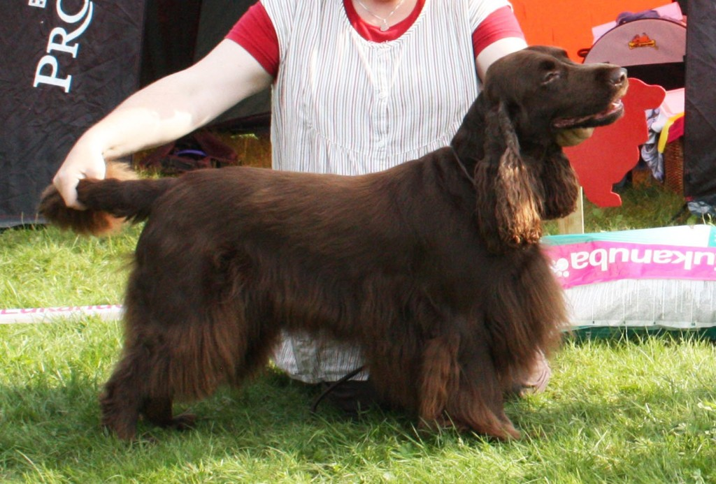 Field spaniel Winterbourne Deep Blue Sea Funkarla valp oppdrett