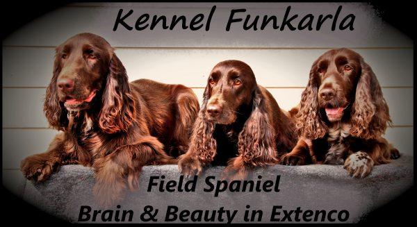 Field Spaniel, våre hjemmeboende hunder hvor to er fra vårt eget oppdrett, med navn Funkarla.
